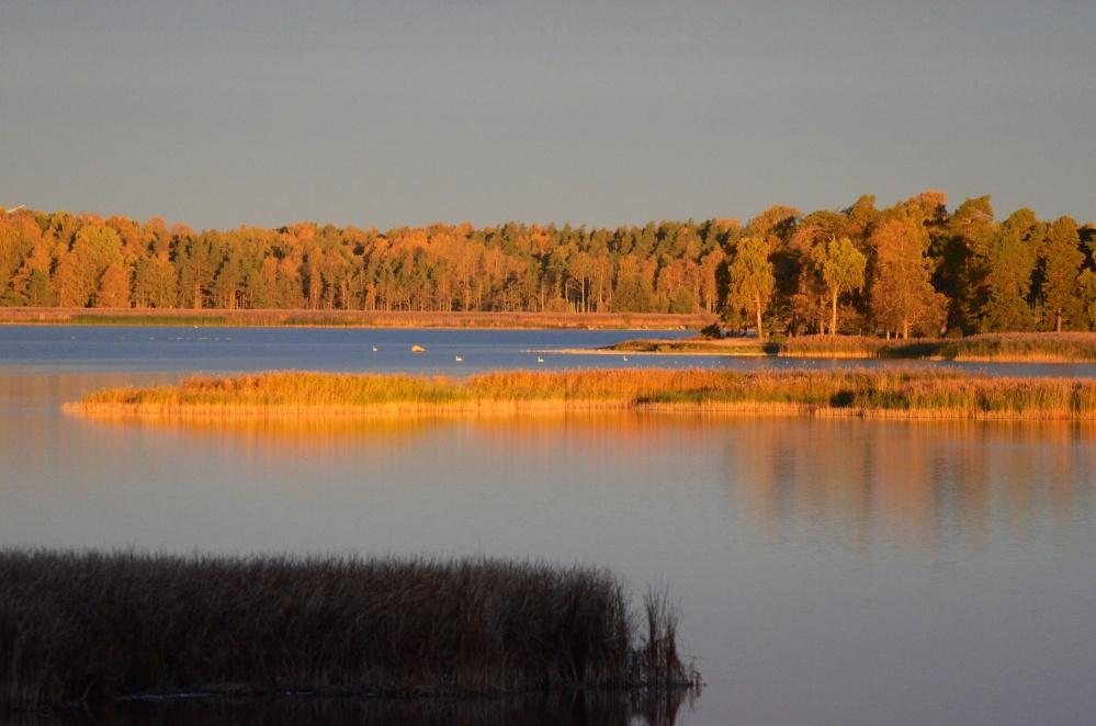 Gäss och andra fåglar vid sjön Tåkern i Östergötland (3/6)