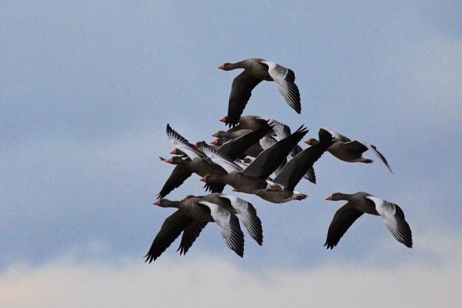 Gäss och andra fåglar vid sjön Tåkern i Östergötland