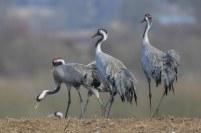 Trana (Crane)
