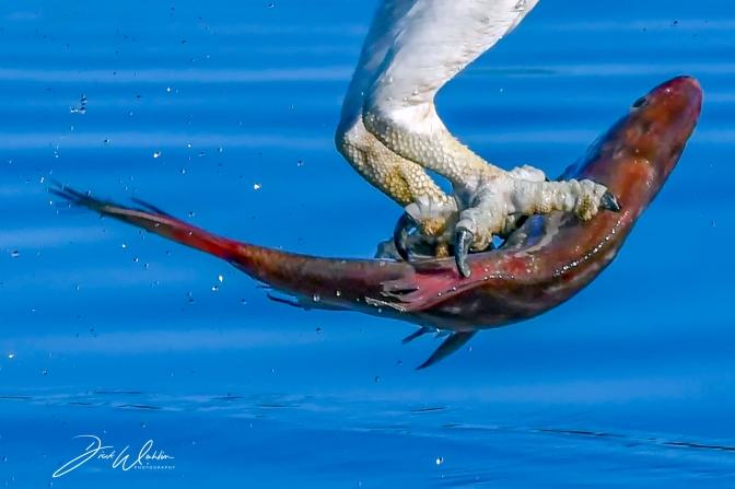 Fiskgjuse i Mälaren