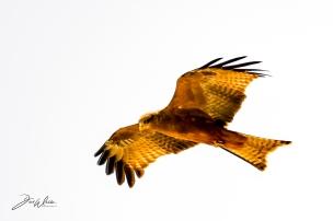Yellow-billed kite - Gulnäbbad Glada