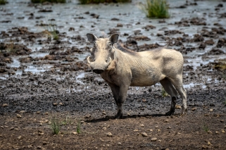 Warthog - Vårtsvin