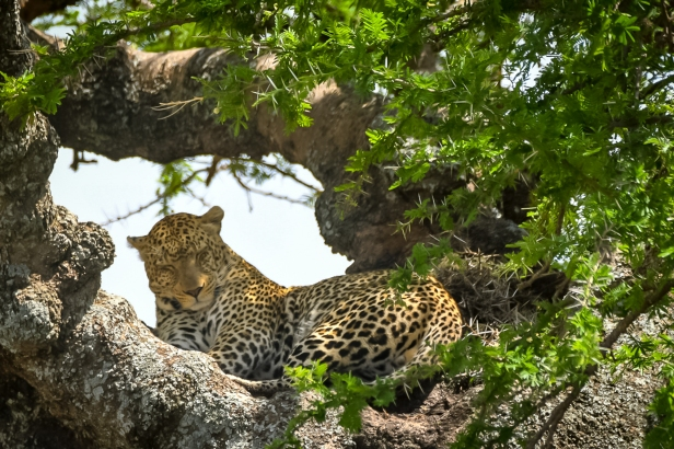 Serengeti41