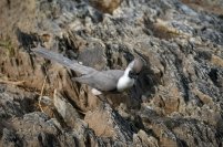 Bare-faced go-away bird - Barkindad Tofsturako