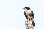 outhern White Crowned Shrike / Vitkronad Törnskata